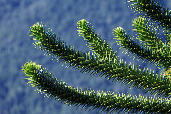 Along the limbs of the Monkey Puzzle tree, grows its leafs - a Coriaceous (stiff, tough, somewhat pliable or leathery) - Sensil (no stalk) - Imbricated (overlapping edges) - Acute Apex (sharply pointed tip) leaf, growing in a whorled pattern along the limbs - measuring about 2 in. (5 cm) long, and around 1 in. (2.5 cm) wide.