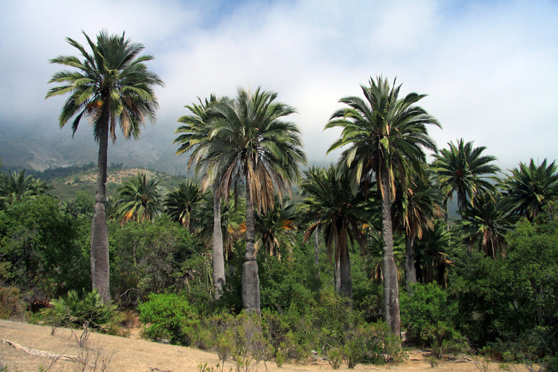 Chilean Wine Palm - growing among the Matorral ecoregion vegetation (forests, woodlands, and scrub) - along the slope of Cerro Campana - Valparasio region.