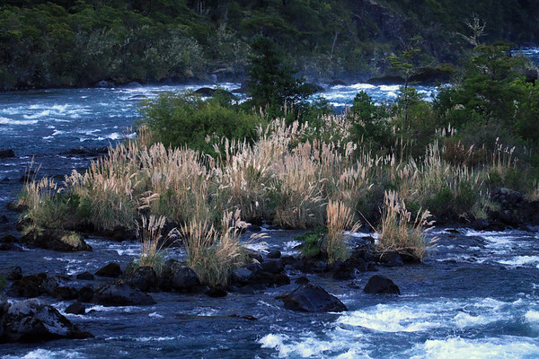 Rio Petrohue - flowing among the inflorescence of the pampas grass (Cortaderia araucana), and other Valdivian vegetation, along the igneous rock and glacial milk water, shadowed during the early morning.