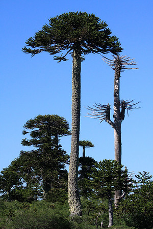 Pehuén or Monkey Puzzle tree - species grows to about 130 ft. (40 m) tall - trunk diameter about 8 ft. (2.5 m) - a canopy around 50 ft. (15 m) - here along side the unfortunate sapwood of a triple-branched specimen (genetically rare).