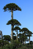 Double-branched or double-canopied Pehuén or Monkey Puzzle tree (Araucaria araucana) - these trees are loose-pyramidal and open when young, but develop an umbrella-like crown with loss of lower branches-limbs as they age - this species of the Patagonia Andes, lives for >1000 years.