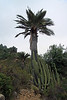 Quisco (Echinopsis chiloensis), this columnar cactus, grows to about 25 ft. (7.5 m) tall - here among the Chilean Wine Palm (Jubae chilensis), which reaches up to about 60 ft. (18 m) - along the Coastal Mountain Range - Valparaiso region.