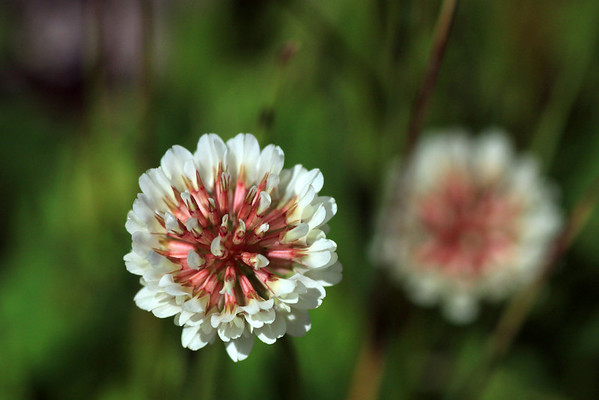 Florence of the White Clover or Trebol Blanca (Trifolium repens)