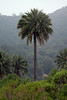 Chilean Palm (Jubae chilensis) - grows to about 100 ft. (30 m tall) - along the Coastal Range of central Chile.