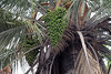 Chilean Wine Palm (Jubae chilensis) - displaying its clusters of fruit - growing from the base of the tree's crown, among the fronds or leafs.