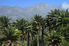 Beyond the crowns of the Chilean Wine Palms,  and a cumulus cloud - to Cerro Campana (Bell Hill), rising to about 6,266 ft. (1,919 m) - along the lengthy Coastal Mountain Range, which extends for about 1,900 mi. (3,100 km), from Morro de Arica (n) to the Taitao Peninsula (s), which includes Isla Chiloe, basically from about 19°- 43°S.