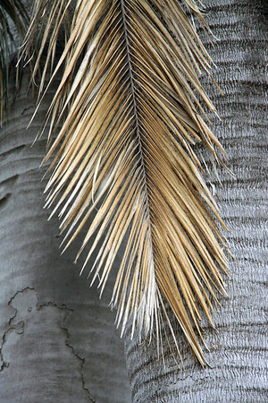 The dead pinnate frond of leaf of a Chilean Wine Palm - displaying its leaflets from the rachis (main axis) - adjacent a couple of smooth bark trunks.