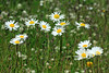 Daisies in bloom - early summer season - Torres del Paine National Park.