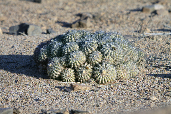 (Copiapoa cinerascens) - a cespitose cactus (growing in dense clumps), a geophyte cactus (a plant propagated by means of underground buds) - displaying its globose-cylindrical stems - this species is found along the coastal area, along the Atacama Desert, of northern Chile.