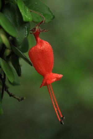 Tubular florescence of the Medal (Sarmienta repens) vine.