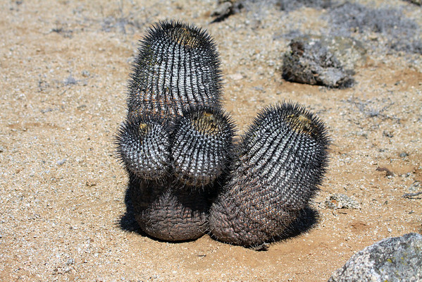 (Copiapo columan-alba) cactus - native to the Atacama Desert - northern Chile.