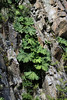 Nalca (Gunnera tinctoria) - a perennial shrub, growing to about 10 ft. (3 m) tall, with leafs up to about 5 ft. (1.5 m) long - these specimens along the igneous rock slopes of Lago Torres National Reserve.
