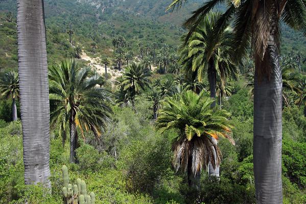 Cacti, palm, and scrub - this is the Matorral ecoregion - Campana National Park - Valparasio region.