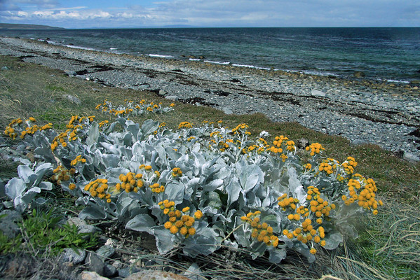 Sea Cabbage (Senecio candicans) - a perennial growing up to about 2 ft (.6 m) tall - here its soft/fuzzy ice green leafs and inflorescence along the rocky coastline of the Isla Grande de Tierra del Fuego - with (l) to Cabo Monmouth - Magallanes region.