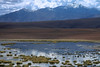 Río Patana - amongst the flamingos, andean geese, giant coots, crested ducks, sedge, and tussock grass - with above Volcán Putana complex, peaking at around 19,325 ft (5,890 m), displaying its summit crater measuring about 1,600 ft (500 m) in width, amongst the fumarolic activity - Loa province - northeastern Antofagasta region.