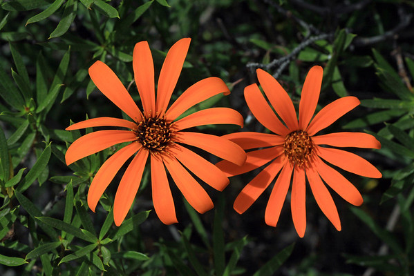 (Mutisia decurrens) - the flower petals measure about 3-5 in. long and .5-1 in. wide.