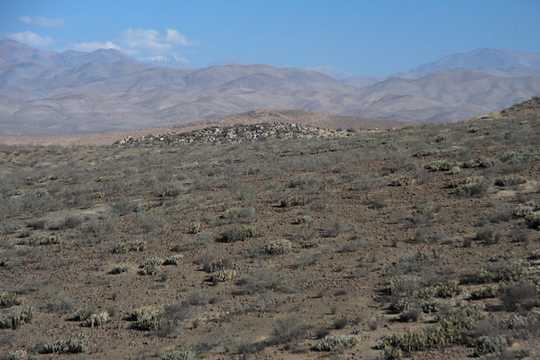 Cactus and scrub vegetation in the Chilean Matorral ecoregion - along the eroded slopes and foothils of the Andes Mountains - Huasco province - Atacama region.