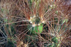 Copana Cactus (Maihueniopsis glomerata) - displaying its spines amongst  its areoles - Loa province - eastern Antofagasta region.