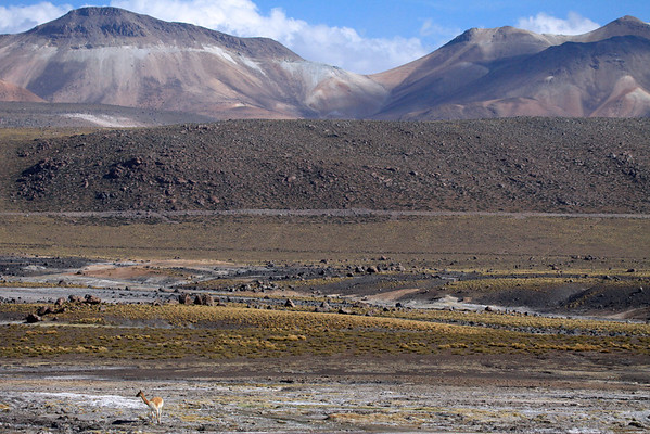 Late afternoon upon the Tatio Geyser Field - with a Vicuña (camalid) looking there upon - Loa province - northeastern Antofagasta region.