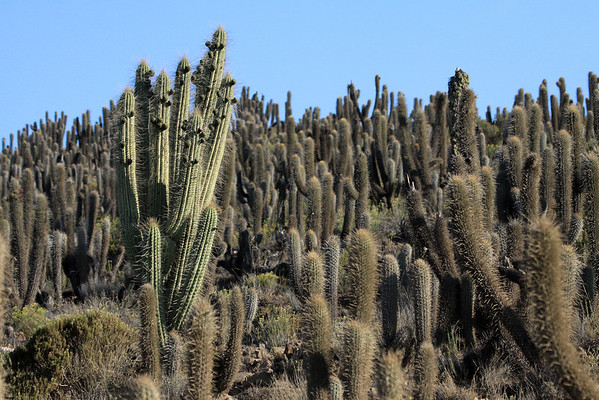Quisco cactus (Echinopsis chiloensis) - growing to about 25 ft. (7.5 m) tall - these specimens in the western Limari  province - Coquimbo region.