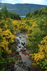 Along a rocky stream, lined with common broom blooms, flowing into Lago Pellalfa in the distance - Los Rios region.