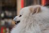 """Hulu's dog """"Guaiguai"""" on Wangfujing (Dongcheng, Beijing, CN - 03/25/13, 3:49:35 PM)"""