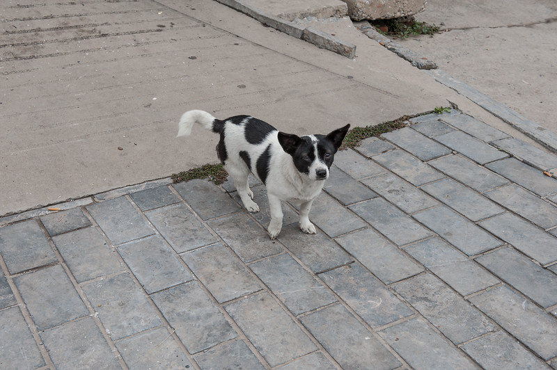 A dog who probably thinks he's a cow pauses on a Xiaotun village sidewalk. (Yindu Qu, Anyang Shi, Henan Sheng, CN - 10/24/16, 11:42:42 AM)