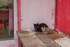 A pair of ferocious cats guard an Anyang restaurant. (Beiguan Qu, Anyang Shi, Henan Sheng, CN - 10/23/16, 4:33:52 PM)