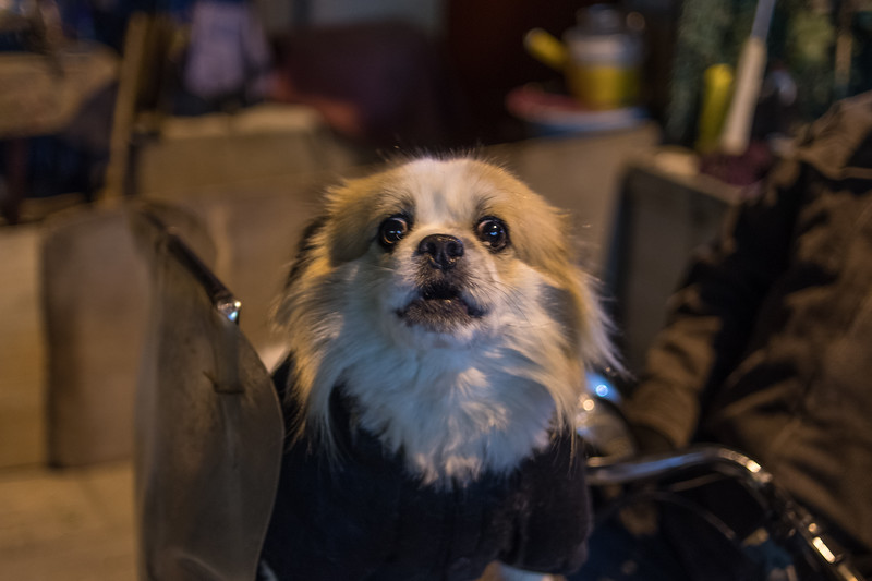 A dog sits in a motorized cart in a Beijing hutong. (Dongcheng Qu, Beijing, CN - 11/01/16, 6:04:18 PM)