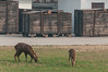 Deer graze by crates of excavated materials (Yindu, Anyang, Henan, CN - 10/27/13, 10:21:36 AM)