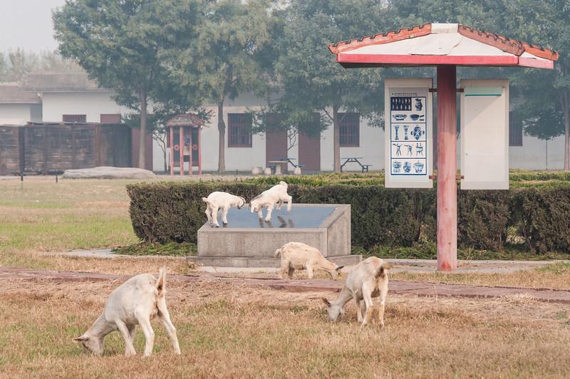Lambs play at the site of an elite burial at the Late Shang royal cemetery site Xibeigang (Yindu, Anyang, Henan, CN - 10/27/13, 9:33:27 AM)