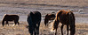 Horses and sheep (Darhan Muminggan, Baotou, Inner Mongolia, CN - 11/08/13, 2:37:40 PM)