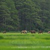 Wild Ponies and Salt Marshes
