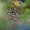 Peeking Bobcat