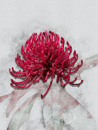 Red Waratah