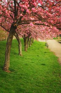 Umbrella Of Blossoms