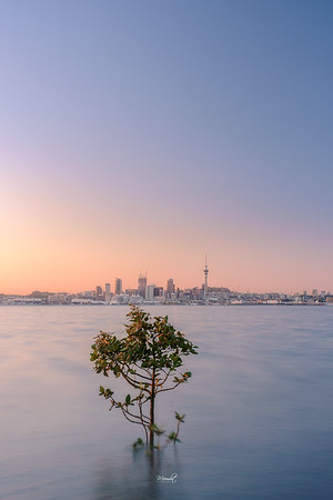 That Auckland Tree