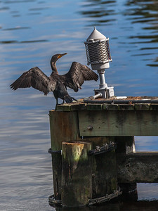 Harbor Cormorant