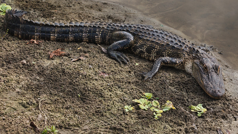 Found at the Lake Alice,  Nature Preserve which is on the University of Florida Campus.  No Wonder they're the Gators.