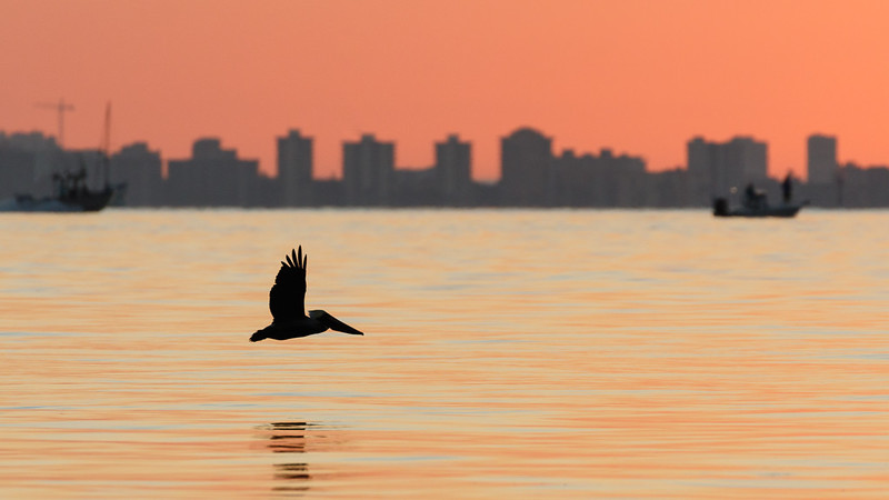Morning Pelican