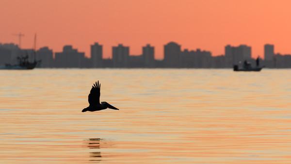 Morning Pelican