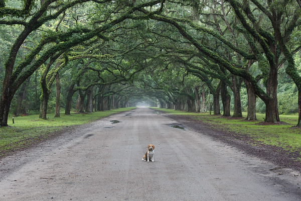 Brody was the  perfect subject to show the scale of this amazing driveway at the Wormsloe Plantation