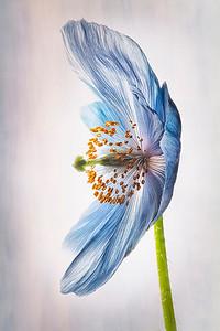 Perfect Poppy, AtlantiCare Mainland