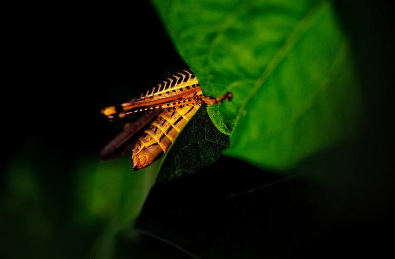 Grasshopper Leg
