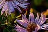 Dewdrop Flower 3