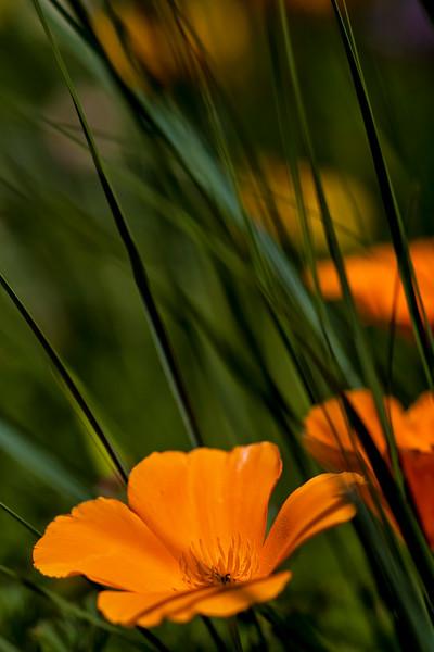 California Poppy Grass