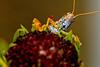 Grasshopper!