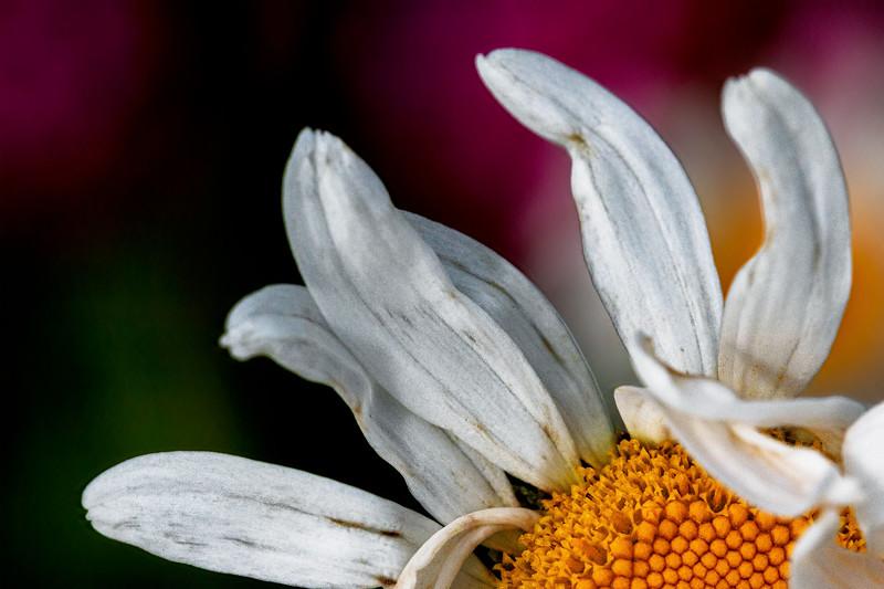 Ruffled Daisy