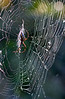 Corkscrew Spider 2