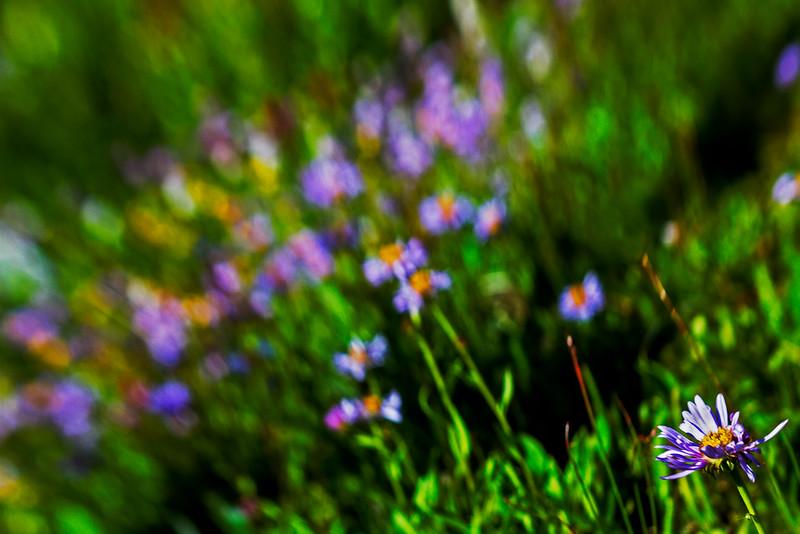 Wildflower Blur 2